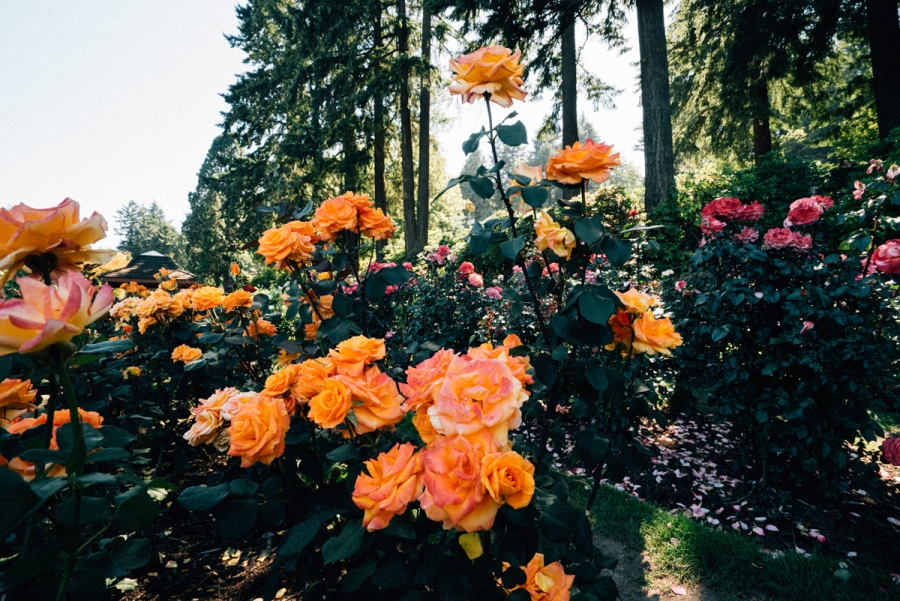 Don't Just Stop & Smell The Roses,  Surround Yourself With Them At The International Rose TestGarden